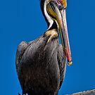 Pelican on the roof. by Brian Tarr