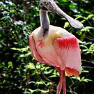 Roseatte Spoonbill by Brian Tarr