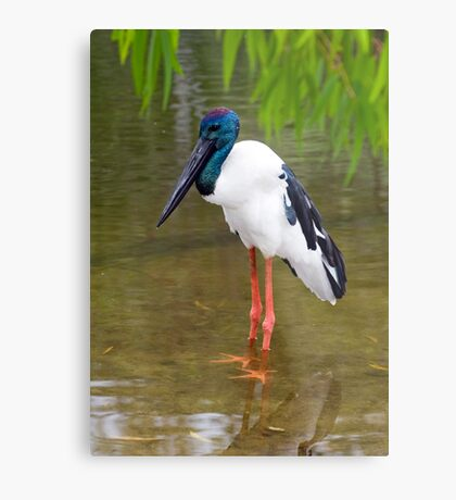 Stand Tall - Jabiru in Port Douglas Metal Print