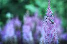 ✿ Astilbe + Japanese Beetles ✿ by Aaron Campbell