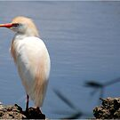 THE CATTLE EGRET - TOTALLY AT PEACE by Magriet Meintjes