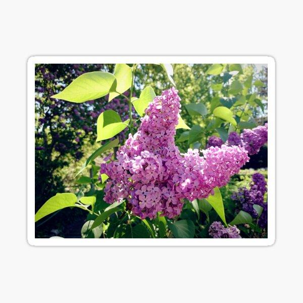 Flieder-Blüte Sticker
