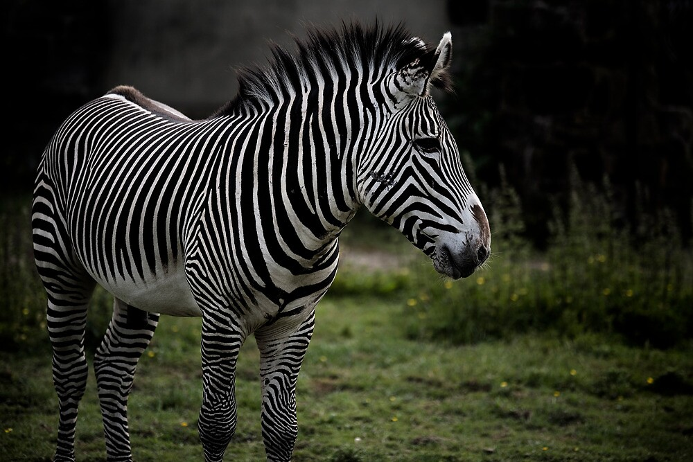 Seeing Stripes by shutterjunkie