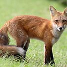 Red Fox From Cavendish by Gary Fairhead