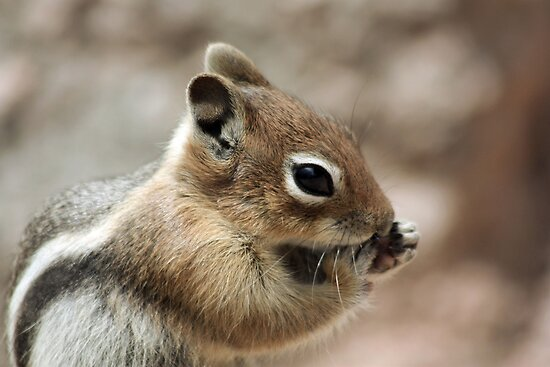 Golden Mantled Ground Squirrel  by Lori Peters