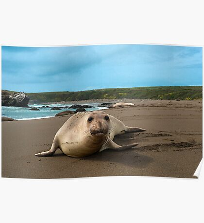 Female Northern Elephant Seal,  mirounga angustirostris, Poster