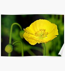 Yellow Poppy, One Tree Hill Poster
