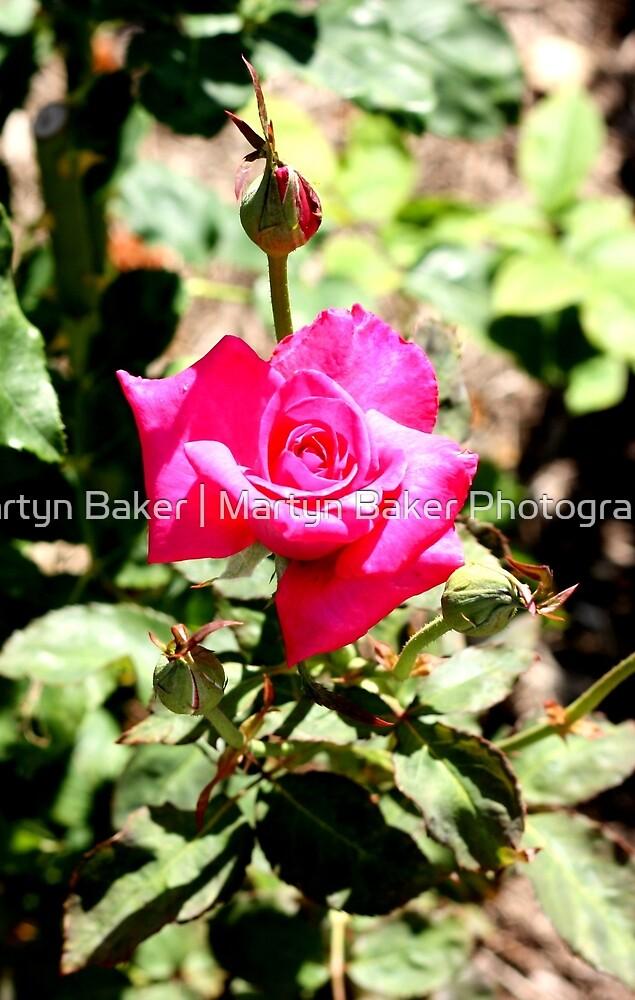Pink Rose by Martyn Baker | Martyn Baker Photography