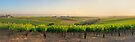 Golden Vineyard  panorama by Ray Warren