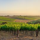 Golden Vineyard  panorama by Ray Warren
