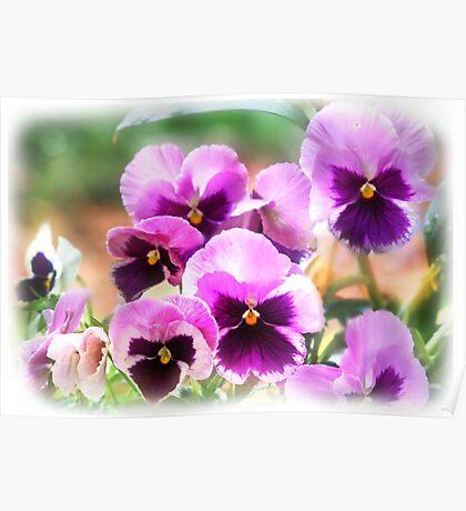 Pink'n'Purple Pansies Poster