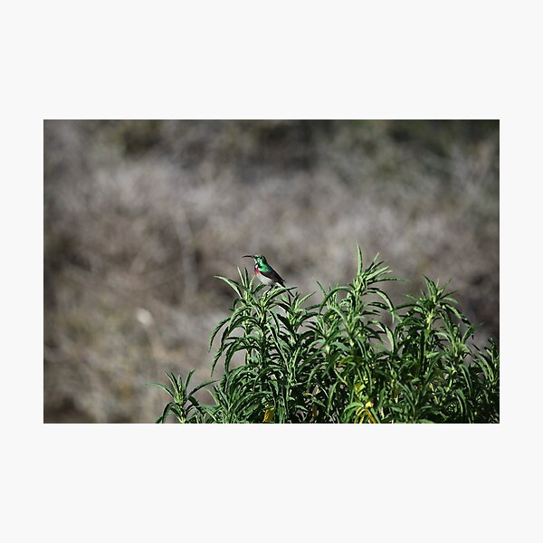Sugarbird, South Africa Photographic Print