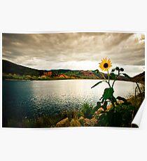Sunflower at Sundown Poster