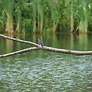 My 1st Kingfisher........... by Sandra Cockayne