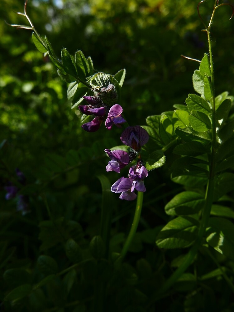 Bush Vetch (Vicia sepium) by IOMWildFlowers