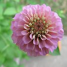 zinnia not yet completely bloomed by Mary Tomaselli