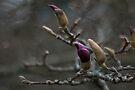 himalayan magnolia winter buds by dennis william gaylor