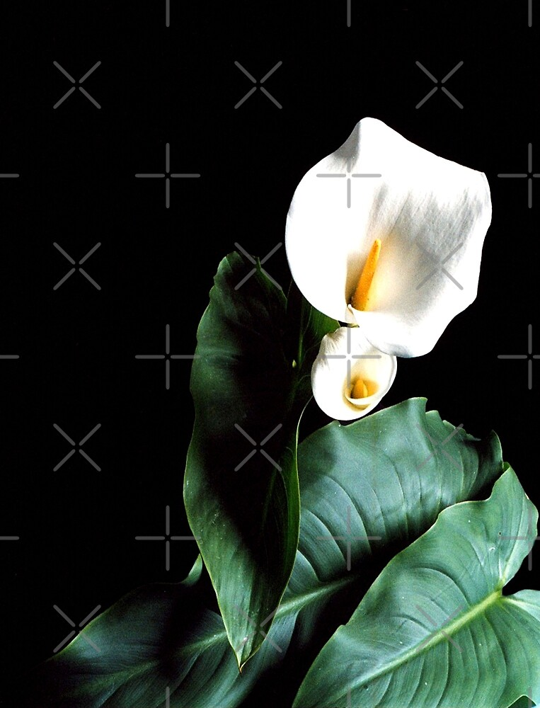 Arum lily's by Marita