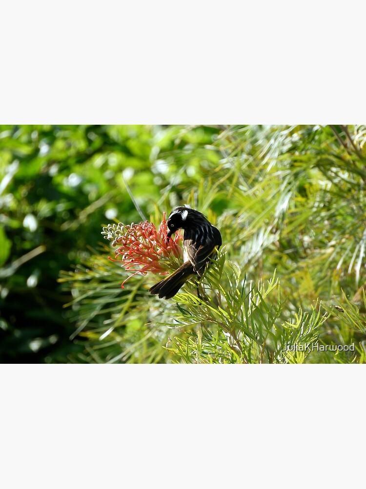 Honey eater feeding on grevillea by JuliaKHarwood