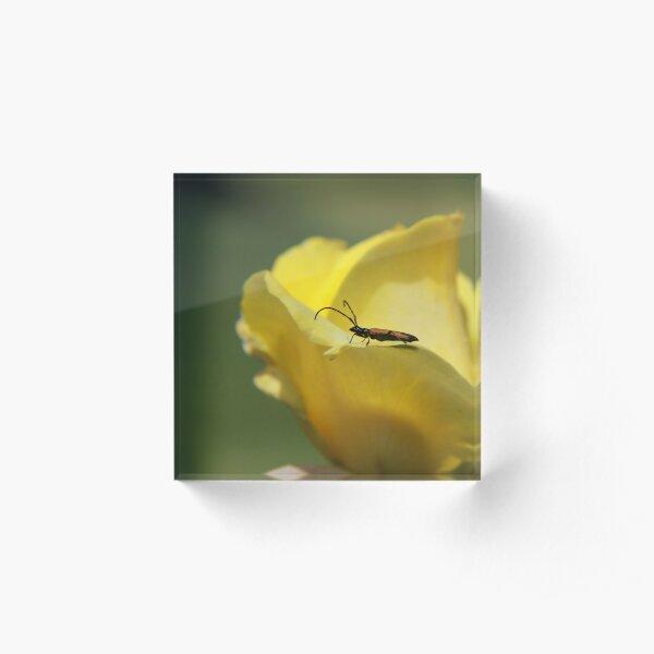 Milkweed bug on yellow rose Acrylic Block