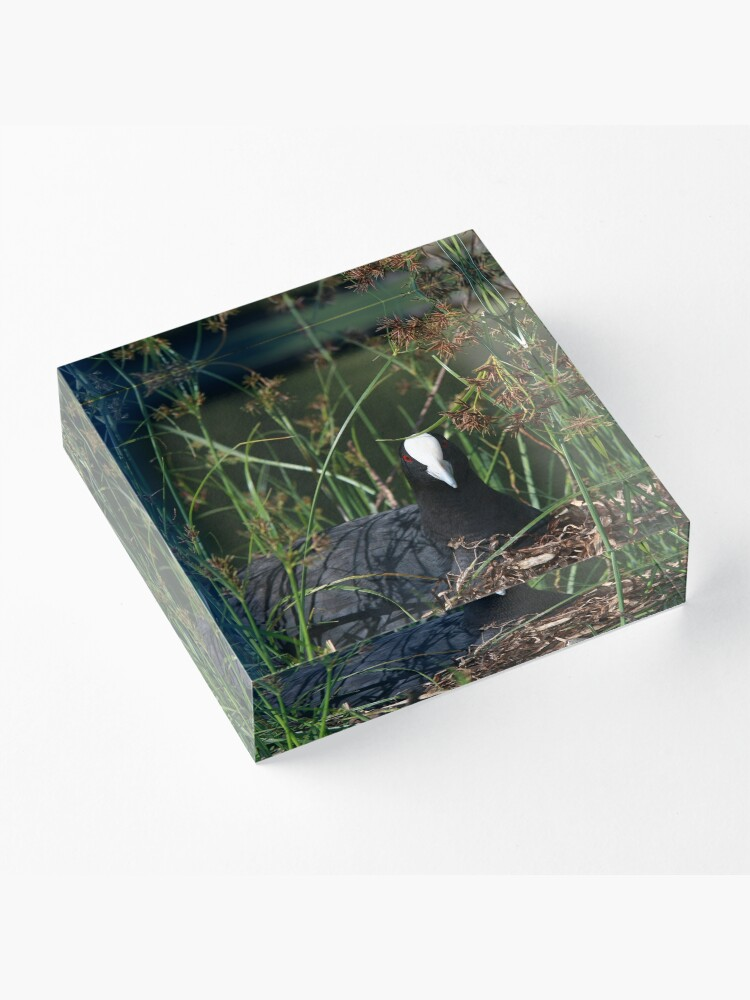 Alternate view of Eurasian Coot sitting on its nest Acrylic Block