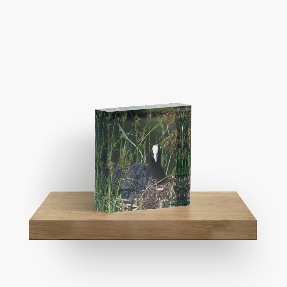 Eurasian Coot sitting on its nest Acrylic Block