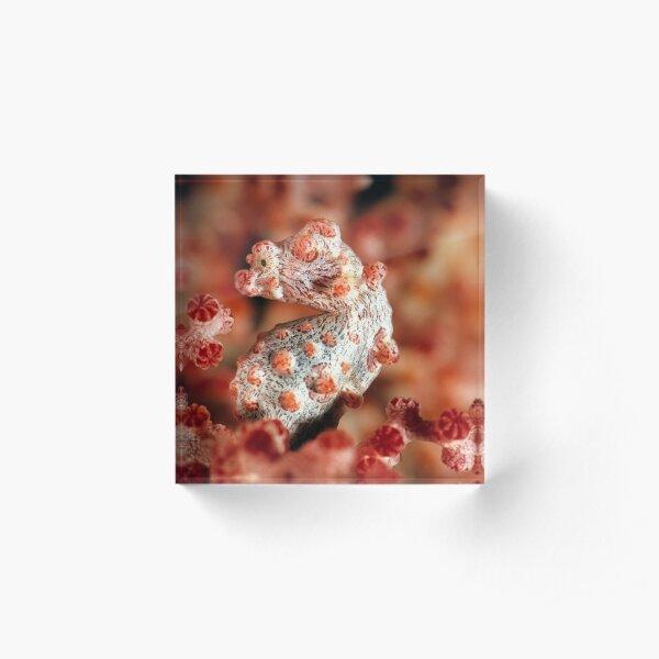 Pygmy seahorse Acrylic Block