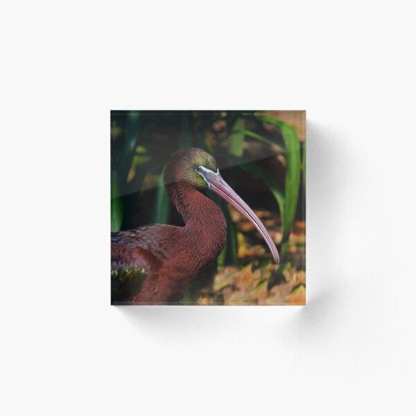 Glossy Ibis Portrait Acrylic Block
