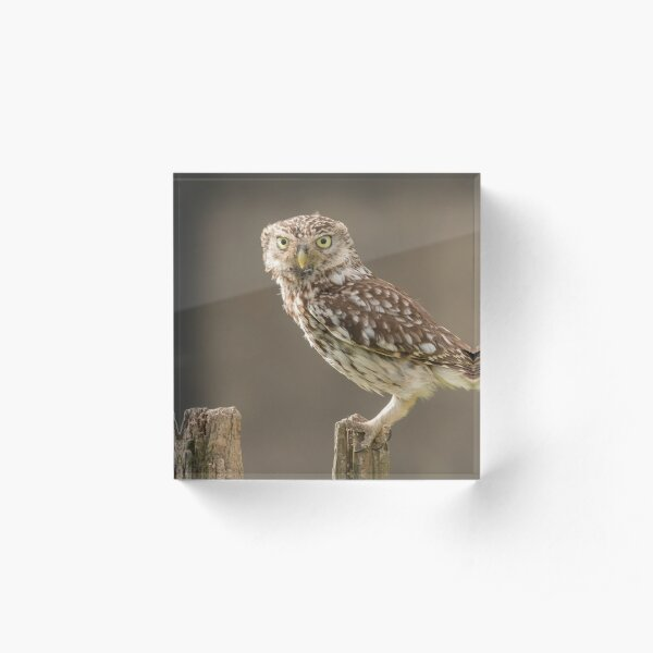 Owl on a post staring at you Acrylic Block