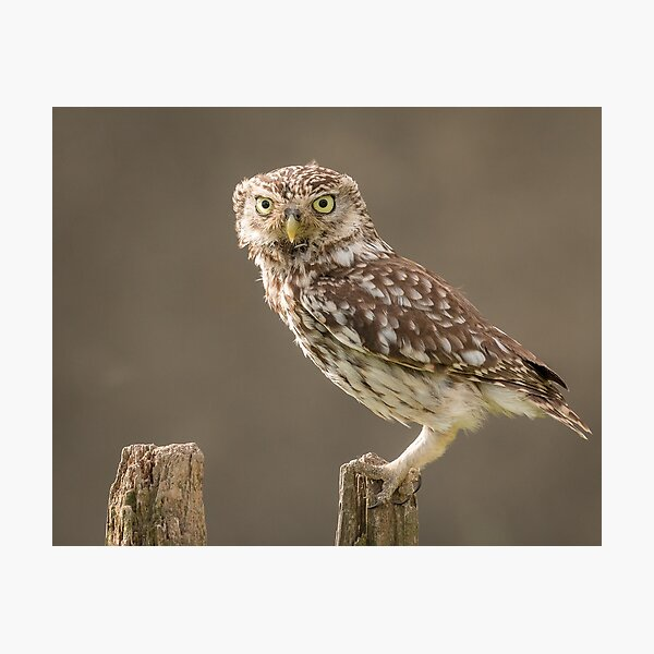 Owl on a post staring at you Photographic Print