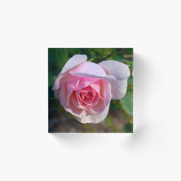 Pink rose Acrylic Block