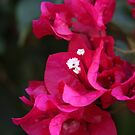 Brilliant Bouganvillea by Heather Friedman