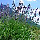 The big season of a lavender 3 .Mountain lavender ... by kindangel