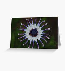 Osteospermum Whirligig Greeting Card
