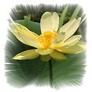 Yellow Water Lilly by FSULADY