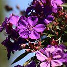 Purple by kwill