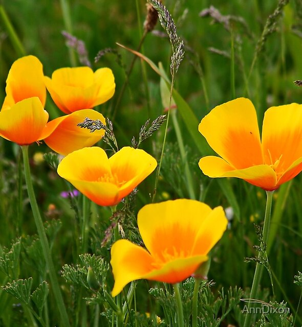 California Poppy & Wildflowers by AnnDixon