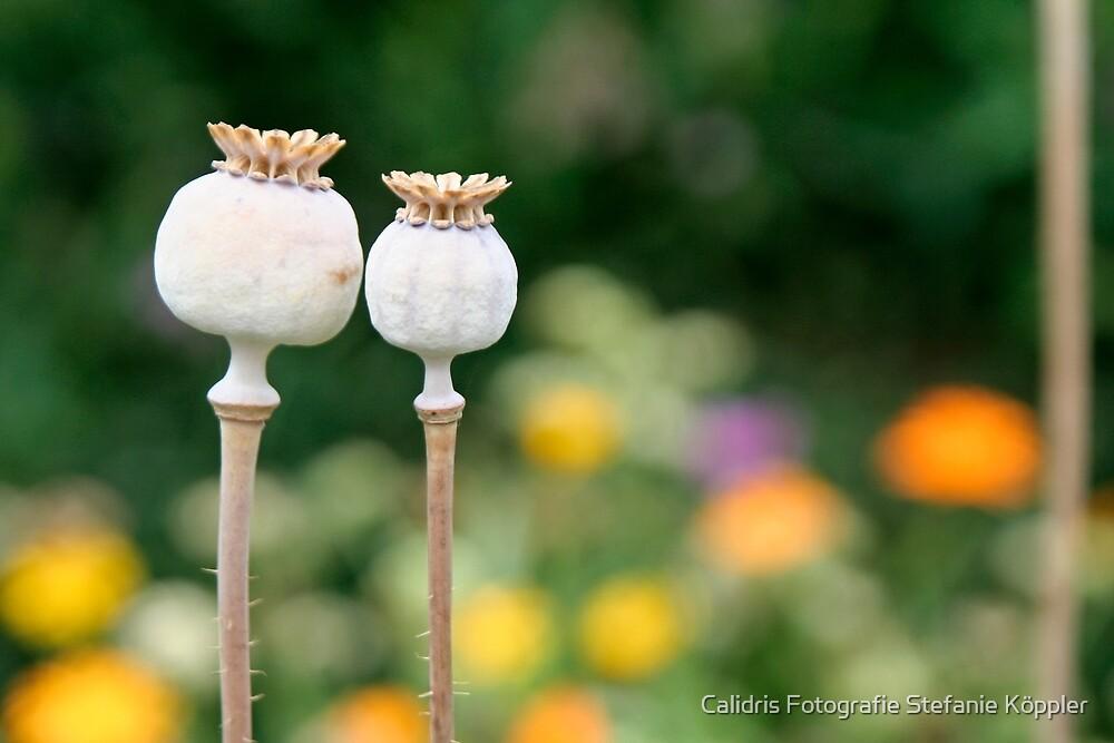Sleeping Poppy Seeds by Stefanie Köppler