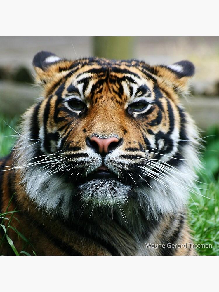 Tiger! by redmoondragon