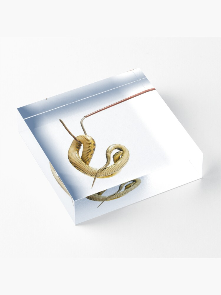 Alternate view of Eastern Tiger Snake (Notechis scutatus scutatus) Acrylic Block