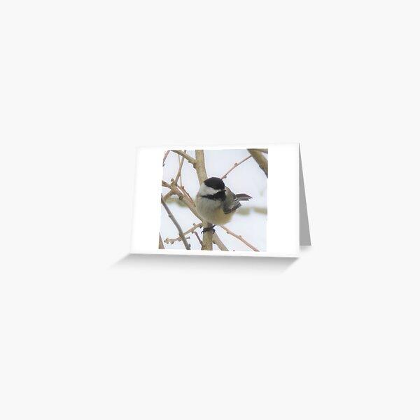 Black-Capped Chickadee Songbird  Greeting Card