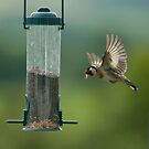 Gold Finch - Incoming! by Stevie Mancini