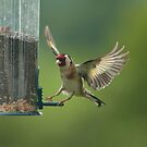 Gold Finch - In Flight by Stevie Mancini