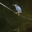 Green Heron by Jonicool