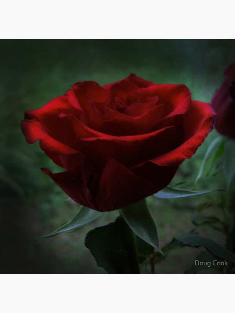 Rabbie's Rose by DougCook