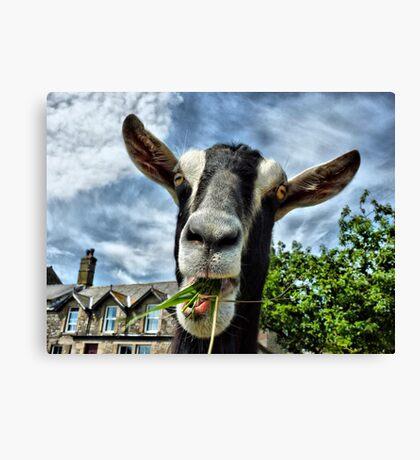 Nosy Goat .  Canvas Print