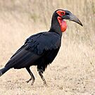 Southern Ground Hornbill by Michael  Moss