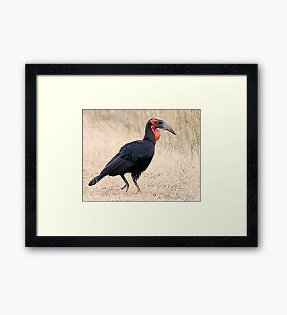 Southern Ground Hornbill Framed Print