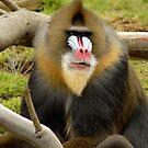 Not a baboon by Jason Pepe