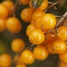 Very Berry Orange by Kylie Van Ingen